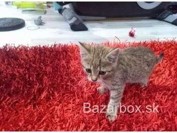 Bengálsko mačiatka na predaj 51a5ee0242d